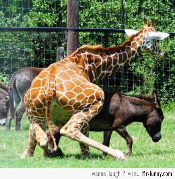 jirafa-burro