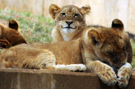 leon-simpatico