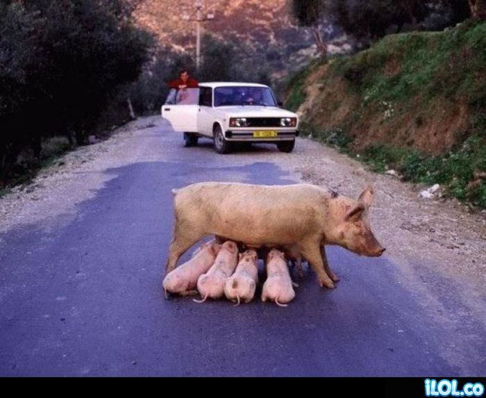 mama-cerdo