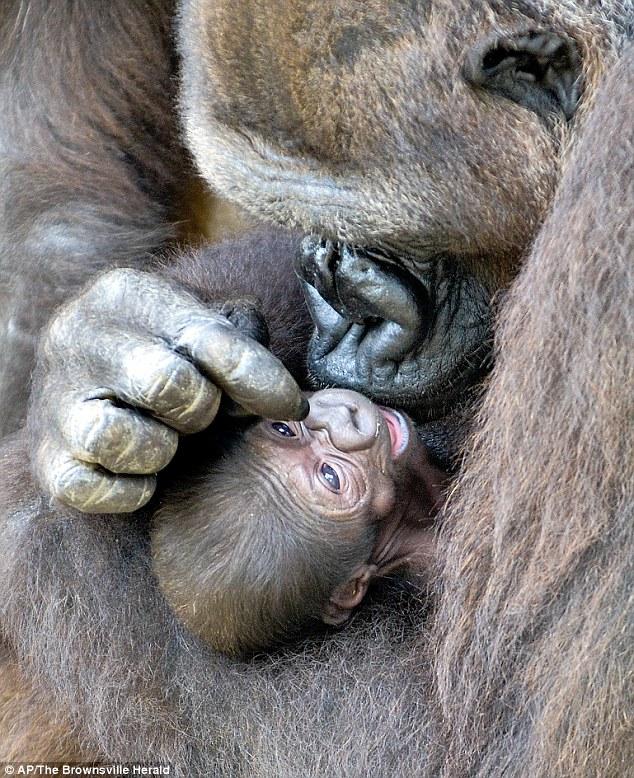 mama-gorila