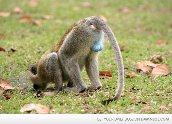 mono-azulguevudo