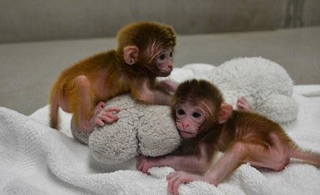 monos-pequeños