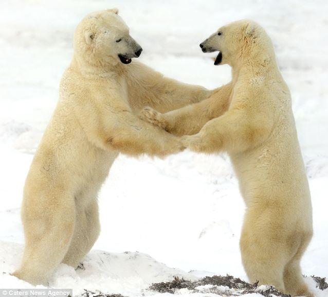 osos-jugando