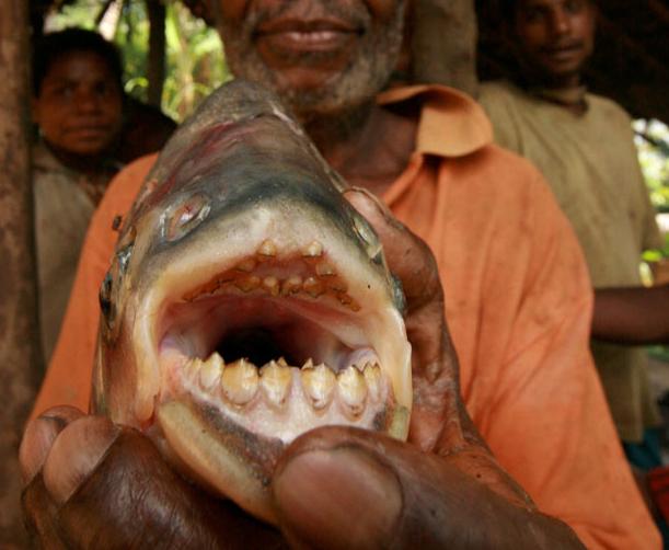 pez-pacu-dientes