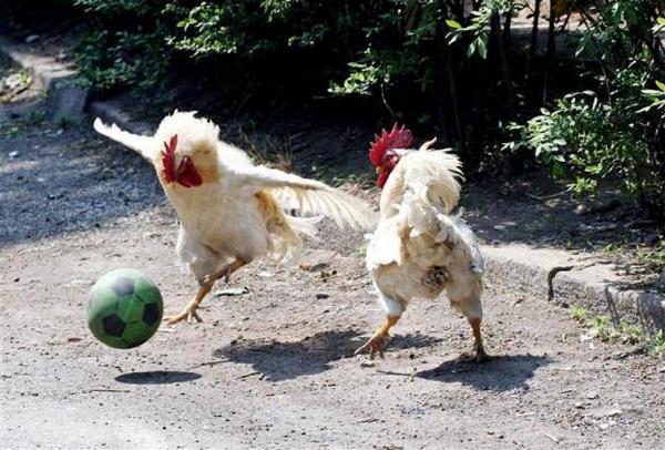 gallinas-futbol