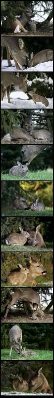 conejo-cervatillo