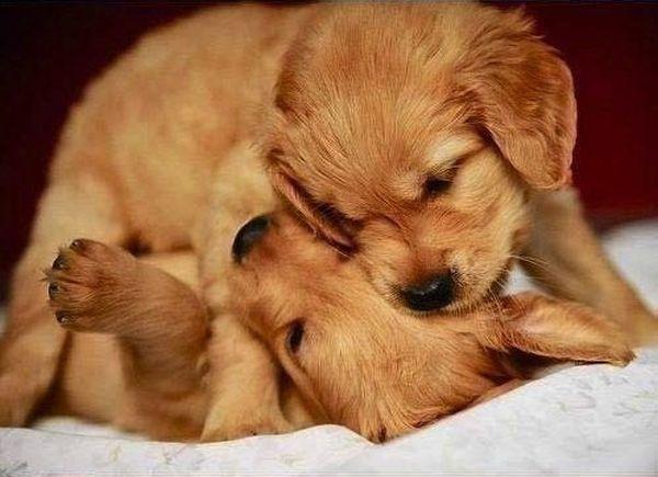 crias-perros-perritos-21