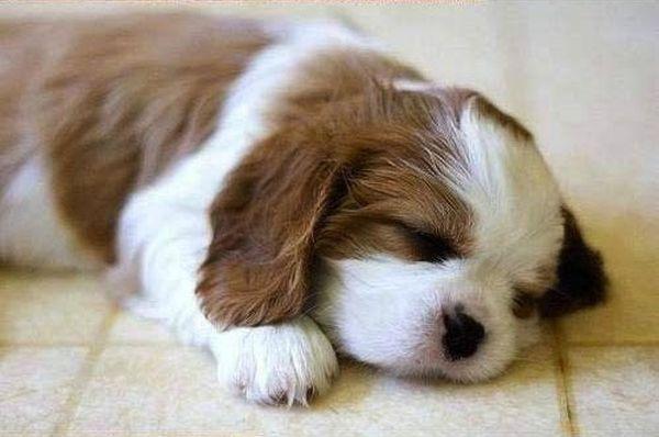 crias-perros-perritos-24