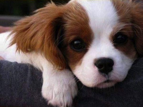crias-perros-perritos-31
