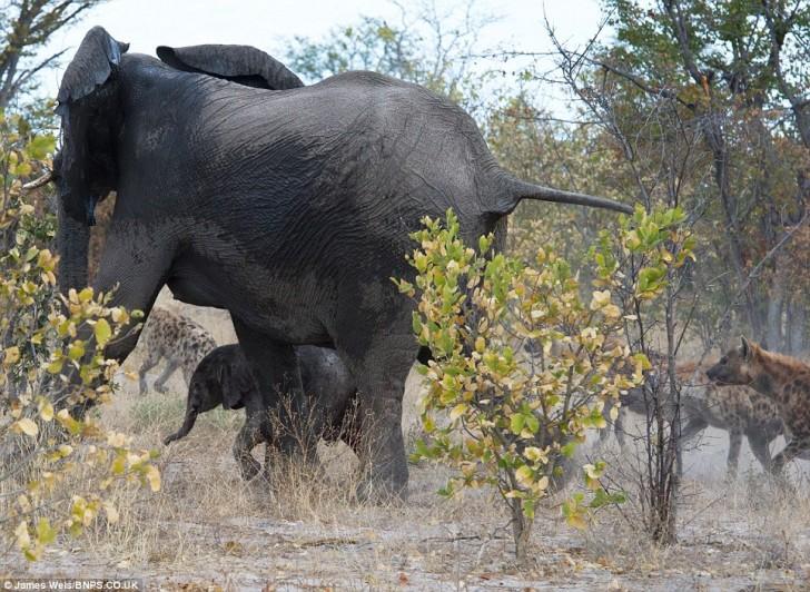 elefanta-defiende-bebe-01