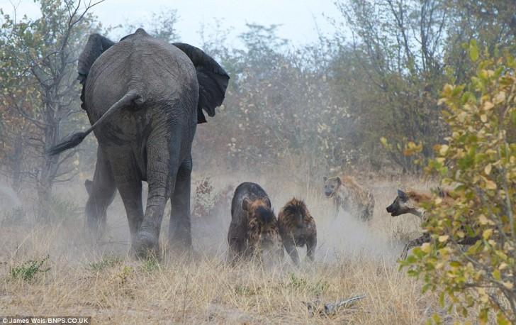 elefanta-defiende-bebe-02