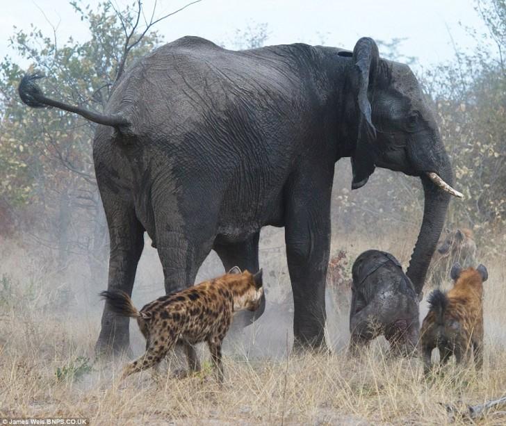 elefanta-defiende-bebe-03
