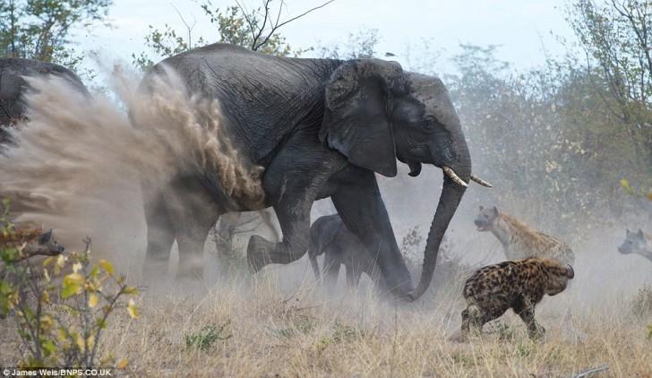 elefanta-defiende-bebe-04