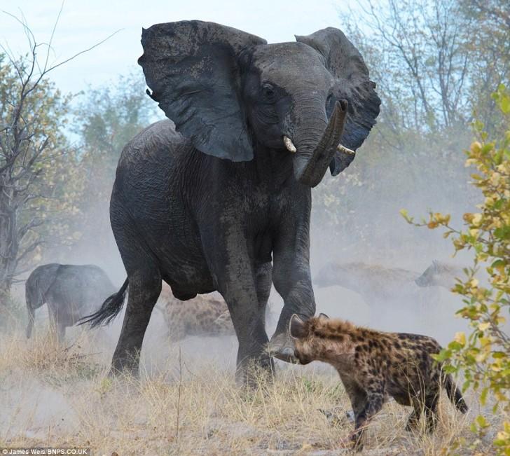 elefanta-defiende-bebe-05
