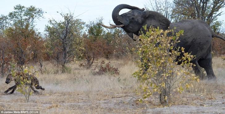 elefanta-defiende-bebe-06