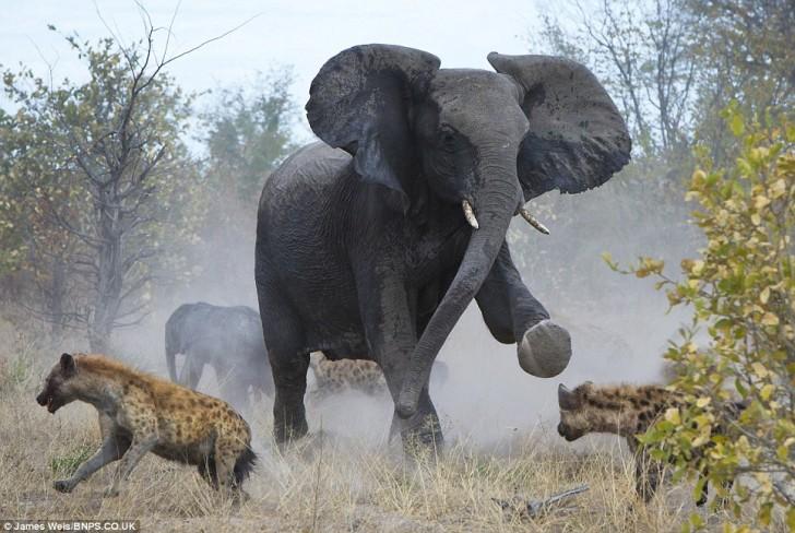 elefanta-defiende-bebe-07