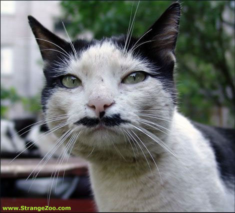 gato-bigote-2