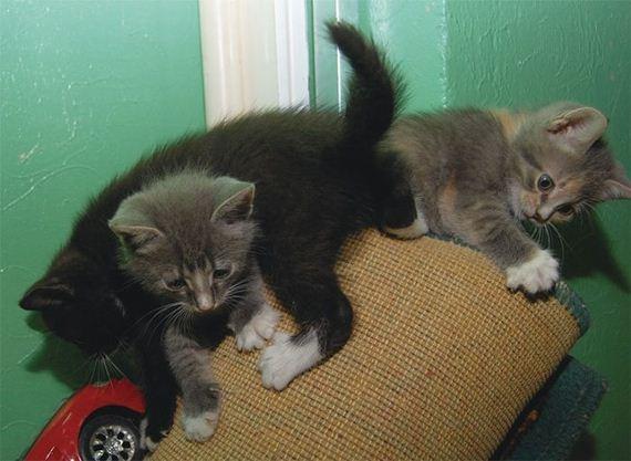 gatos-gatitos-crias-02