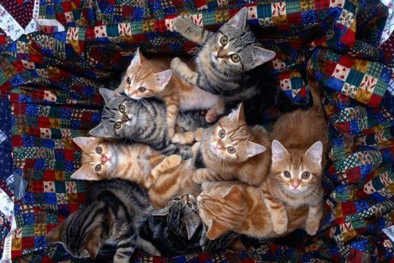 gatos-gatitos-crias-33