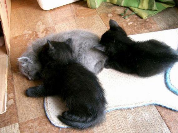 gatos-gatitos-crias-39