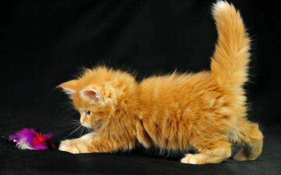 gatos-gatitos-crias-48