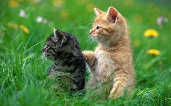 gatos-gatitos-crias-51