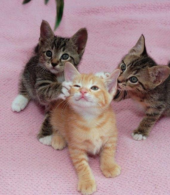 gatos-gatitos-crias-58