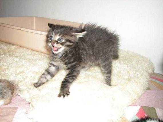 gatos-gatitos-crias-68