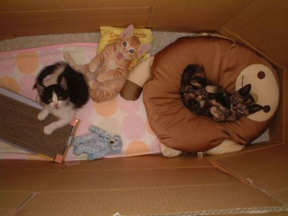 gatos-gatitos-crias-76
