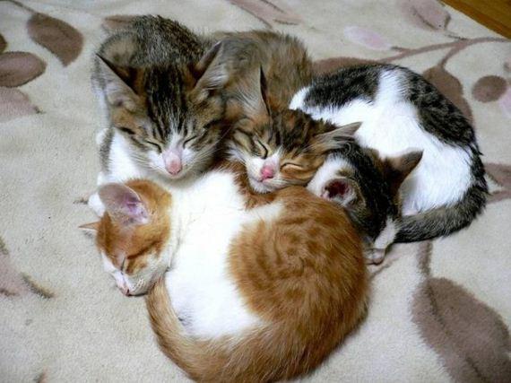 gatos-gatitos-crias-77