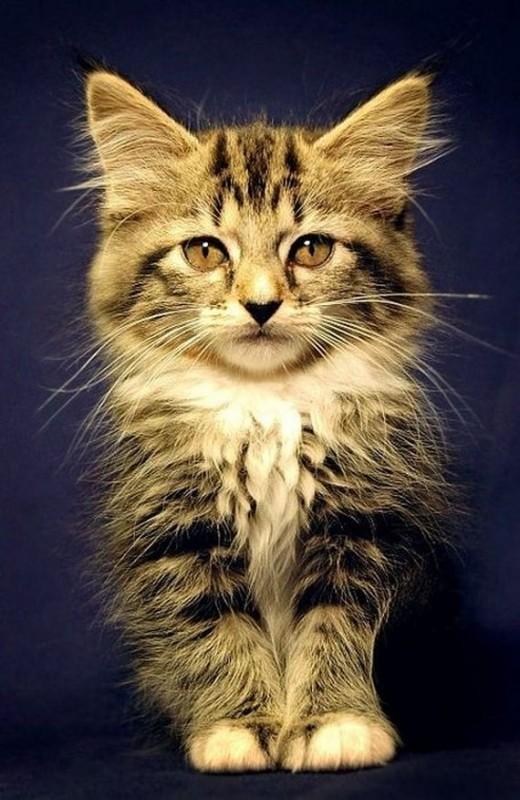 gatos-gatitos-crias-85