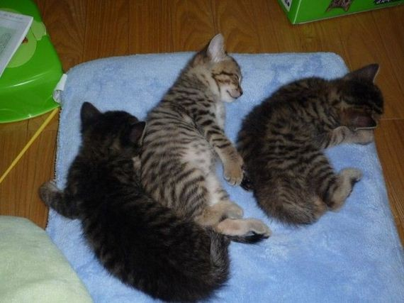 gatos-gatitos-crias-93