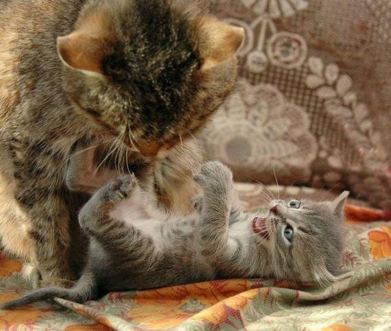 gatos-gatitos-crias-94