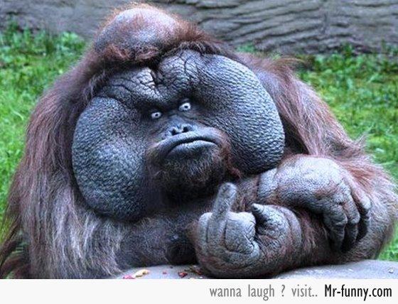 gorila-enfadado