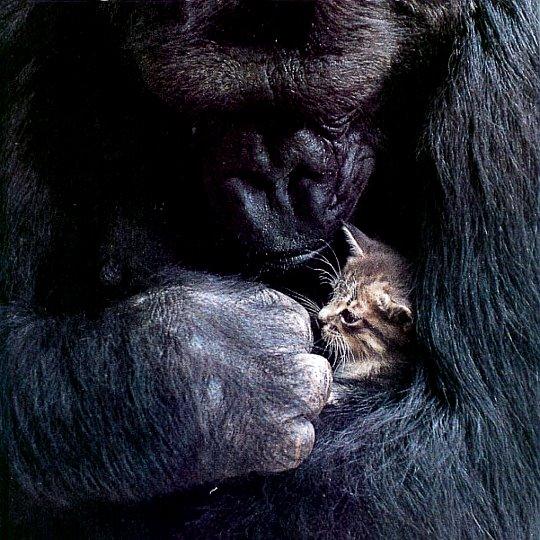 gorila-gato