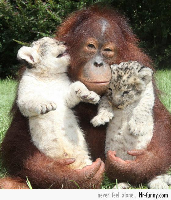 gorila-tigres