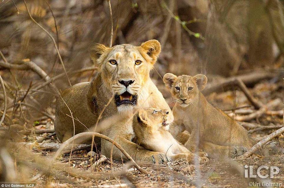 leonas-crias-leon-04