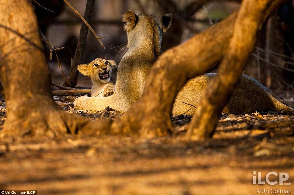 leonas-crias-leon-05