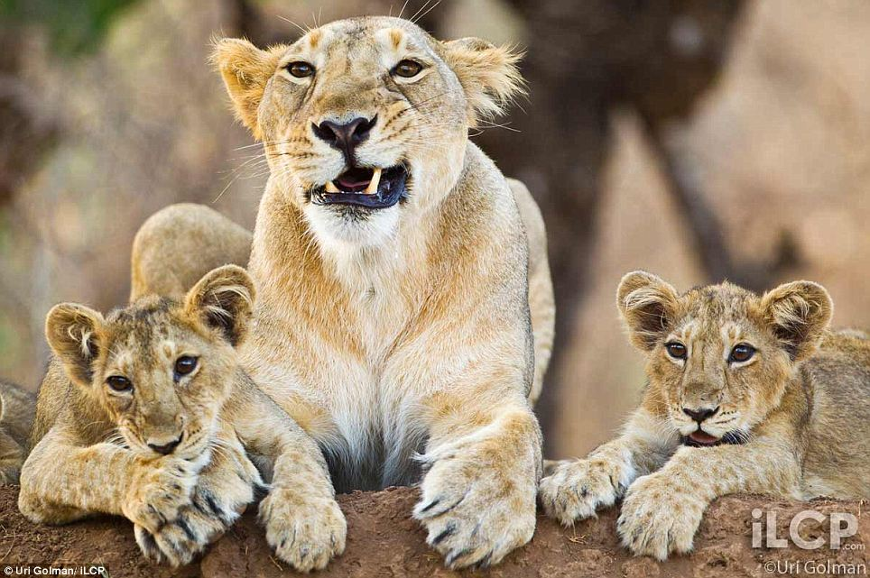 leonas-crias-leon-06