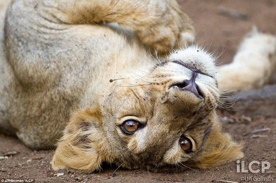 leonas-crias-leon-09
