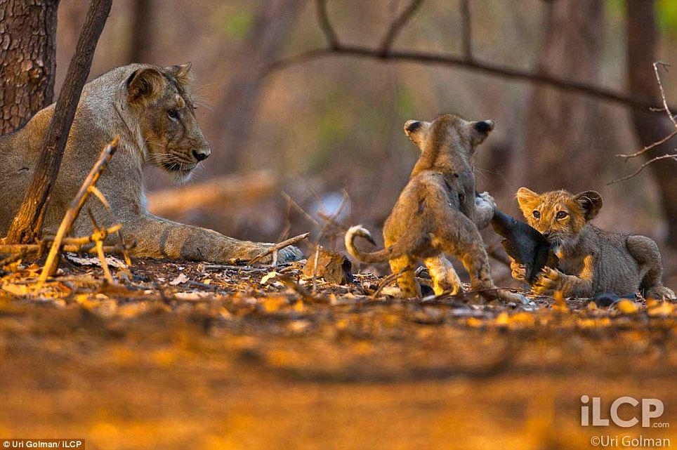 leonas-crias-leon-10