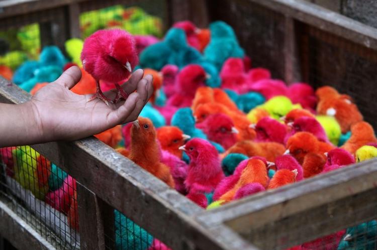 pollitos-colores