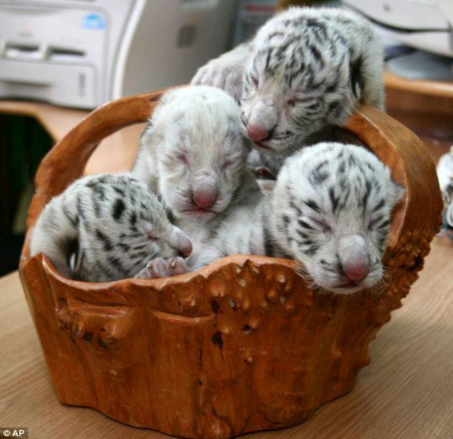 cachorros-tigre