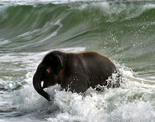 elefante-jugando-playa6