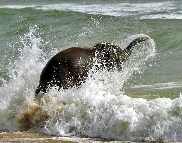 elefante-jugando-playa7