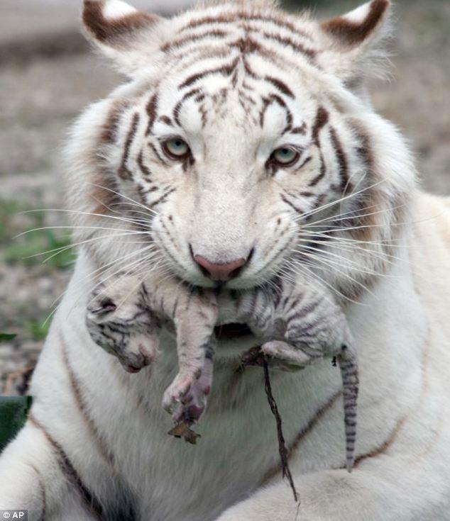 mama-tigre
