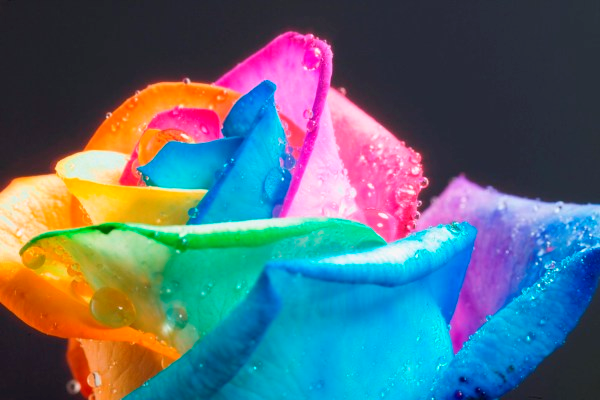 rosas-arcoiris-8