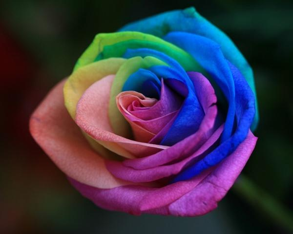 rosas-arcoiris-9