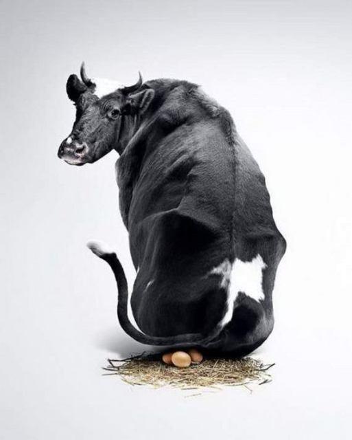 vaca-huevos