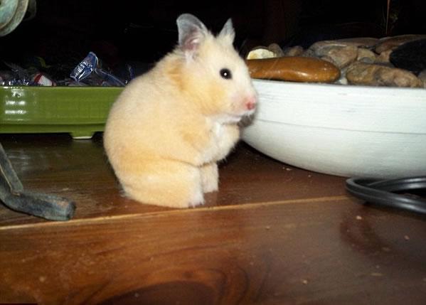 hamster-sin-patas